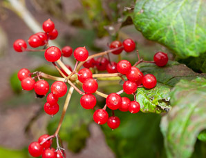 Viburnum opulus (Guelder Rose, Water Elder, European Cranberrybush, Cramp Bark, Snowball Tree)
