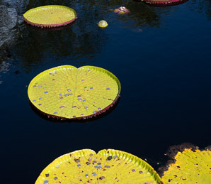Victoria amazonica (Giant Water Lily)