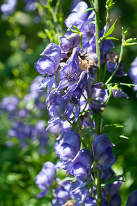 Aconitum × (monkshood)