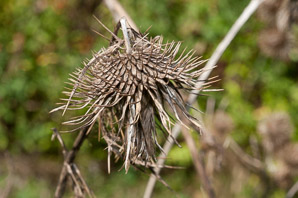 Arctium lappa (Burdock, Greater Burdock)
