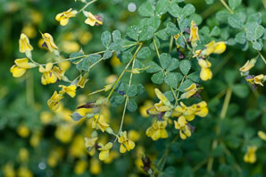 Baptisia tinctoria (Wild Indigo, Yellow False Indigo, Horseflyweed)