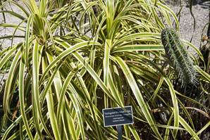 Beaucarnea recurvata (Variegated Ponytail Palm)