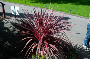 Cordyline banksii (Electric Pink Cordyline)