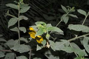 Ludwigia octovalvis (Mexican Primrosewillow)