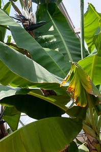 Musa sp. (banana tree, banana)