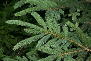 Picea pungens (Colorado Spruce, Blue Spruce, Colorado Blue spruce)
