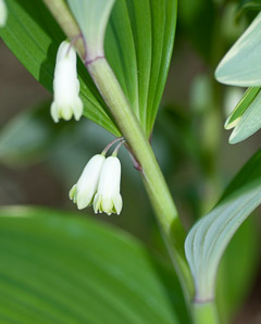 Polygonatum odoratum (Variegated Solomon's Seal)