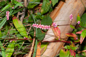 Polygonum persicaria (Lady's Thumb, Persicaria, Redleg, Spotted Ladysthumb, Adam's Plaster, Lily of the Valley)