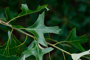Quercus ilicifolia (bear oak, black scrub oak, scrub oak, turkey oak)