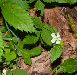 Rubus flagellaris (Northern Dewberry, Common Dewberry)