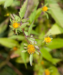 Bidens frondosa (Devil's Beggartick, Devil's-pitchfork, Devil's Bootjack, Sticktights, Bur Marigold, Pitchfork Weed, Tickseed Sunflower, Leafy Beggarticks, Common Beggar-ticks)