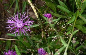Centaurea jacea (Brown Knapweed)
