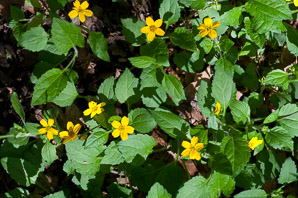 Chrysogonum virginianum (Golden Star, Goldenstar, Golden-knees, Green-and-gold)