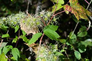 Clematis virginiana (Wild Clematis, Virgin's Bower, Old Man's Beard, Devil's Darning Needles)