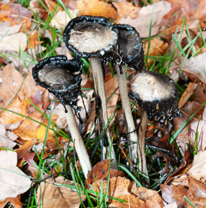 Coprinus comatus (Shaggy Manes, Lawyer's Wig)