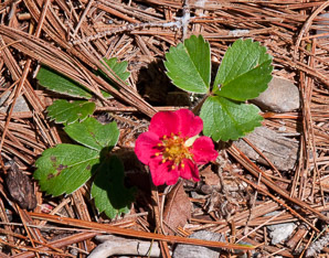 Fragaria 'Red (Ornamental Strawberry)