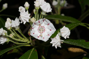 Kalmia latifolia (Mountain Laurel, Spoonwood, Ivybush, Calico Bush, Lambkill, Clamoun)