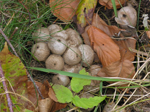 Lycoperdon pyriforme (Common Puffball)