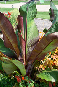 Musa ensete (Ethiopian banana, Abyssinian banana, false banana, ensete)