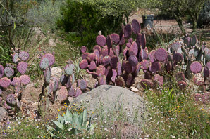Opuntia santa-rita (Santa Rita Purple Prickly Pear, Santa Rita Pricklypear)