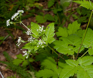 Osmorhiza claytonii (Sweet Cicely, Clayton's Sweetroot, Sweet Jarvil, Woolly Sweet Cicely)