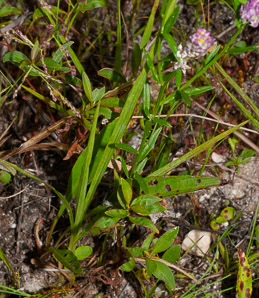 Polygala sanguinea (Field Milkwort, Blood Milkwort, Purple Milkwort)