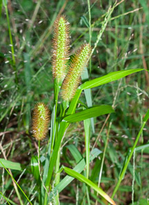 Setaria pumila (yellow foxtail, yellow bristlegrass, pigeon grass, cattail grass)