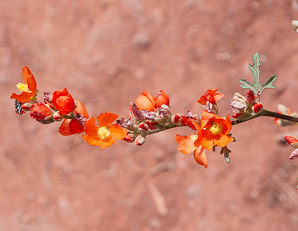 Sphaeralcea coulteri (Coulter's Globemallow)