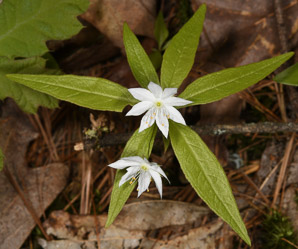 Trientalis borealis (Starflower, May Star, Star-of-Bethlehem)