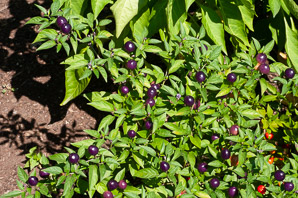 Capsicum annuum (Ornamental Peppers)