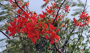 Delonix regia (Royal Poinciana, Flamboyant)