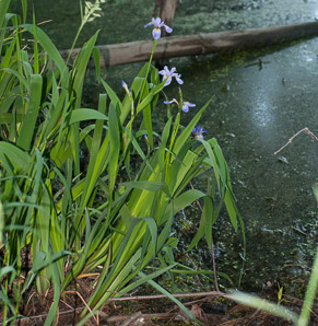 Iris versicolor (Blue Flag, Harlequin Blueflag, Large Blue Flag, Northern Blue Iris)