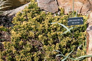 Juniperus horizontalis (Creeping Juniper, Mother Lode Juniper)