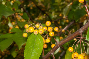 Malus 'Golden (Crabapple)