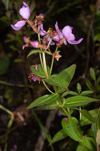 Rhexia virginica (Pale Meadow Beauty, Virginia Meadow Beauty, Handsome Harry, Wing-stem Meadow-pitchers)