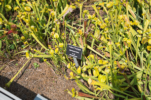 Sarracenia flava (yellow pitcher plant, yellow trumpet)