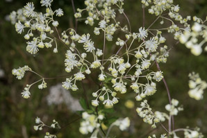 Thalictrum pubescens (Tall Meadow Rue, King-of-the-meadow, Tall Meadow-rue)