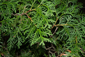 Thuja occidentalis (Northern White Cedar, Arbor Vitae, Arborvitae, Eastern Arborvitae, Northern Whitecedar, Northern White-cedar)