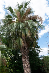 Washingtonia robusta (Mexican fan palm, Washington fan palm)