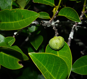 Annona glabra (Pond Apple, Alligator Apple, Swamp Apple, Corkwood, Bobwood, Monkey Apple)