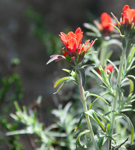 Castilleja foliolosa (Woolly Indian Paintbrush, Texas Paintbrush)