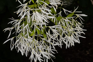 Chionanthus retusus (Chinese Fringe Tree)