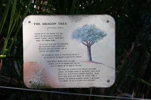 Dracaena draco (dragon tree, drago, Canary Islands dragon tree, dragontree)