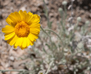 Geraea canescens (desert sunflower, hairy desert sunflower, desert gold, hairy desertsunflower)