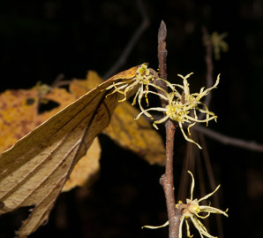 Hamamelis virginiana (Witch-hazel, American Witchhazel, Winterbloom, Witch Hazel)