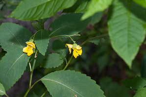 Impatiens pallida (yellow jewelweed)