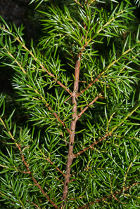 Juniperus communis (Berkshire Common Juniper, Common Juniper, Ground Juniper)
