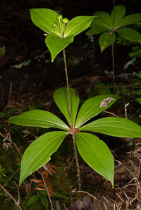 Medeola virginiana (Indian cucumber-root, Indian cucumber)