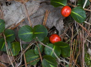 Mitchella repens (Partridgeberry, Partrigeberry, Squaw Vine)