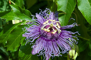 Passiflora incarnata (Maypop, Purple Passion Flower)